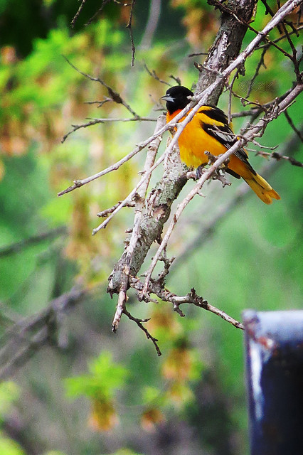 IMG_3492BaltimoreOriole