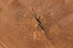 Growth rings indicate Auburn Oaks were 83-85 years old