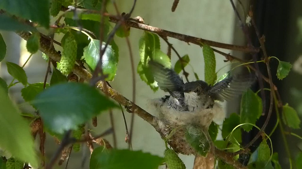 Wednesday's Hummingbird Videos