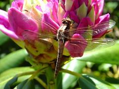 Dragonfly, Wayne 15