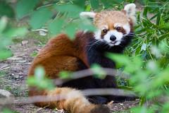 giant panda(0.0), animal(1.0), red panda(1.0), mammal(1.0), fauna(1.0), wildlife(1.0),