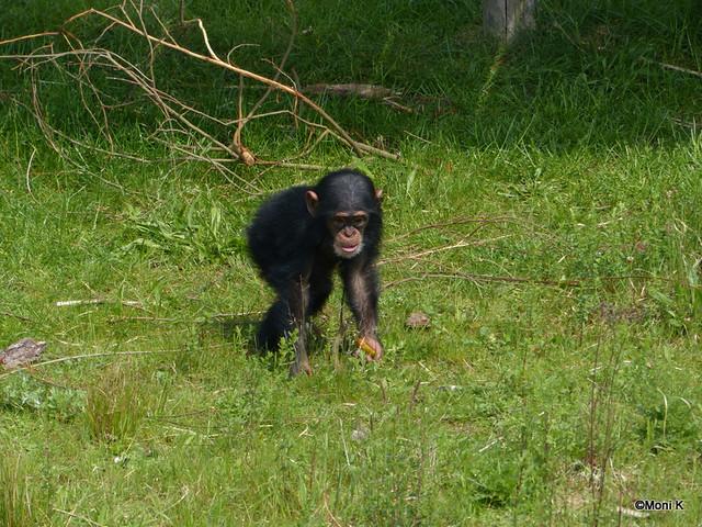 12-Schimpansenkind