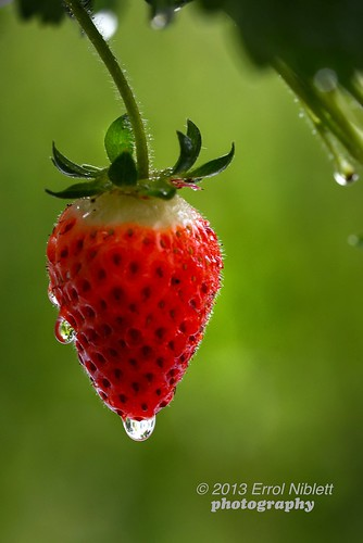DSC_5185© Rain-drenched strawberry by Tripod 01