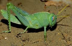 Egyptian Grasshopper (Anacridium aegyptium) nymph