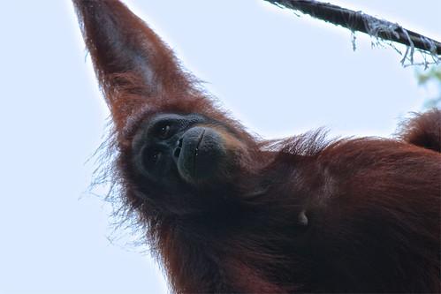 orangutan happiness