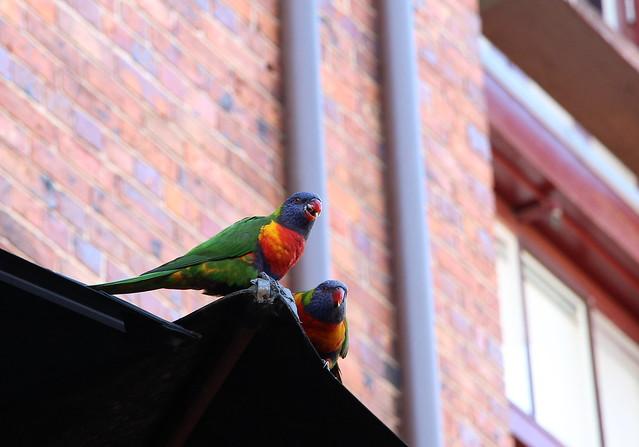 澳洲鳥日子