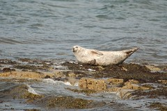 common seal (Phoca vitulina)