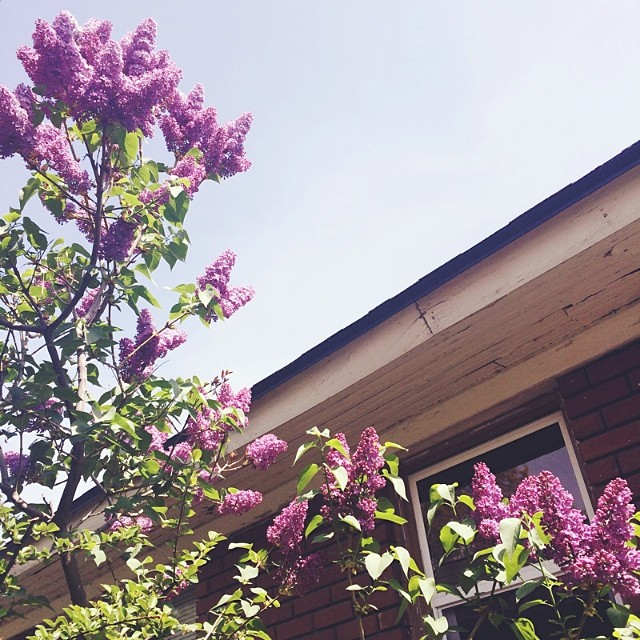 The smell of our blooming lilacs is intoxicating. #ilovespring