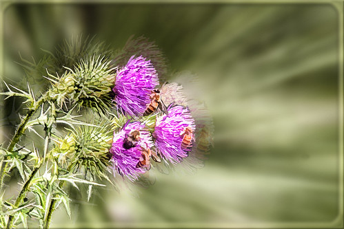 0988 Bee on Thistle.