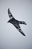 sokol - falcon
