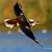Laughing kookaburra / Dacelo novaeguineae by My Planet Experience