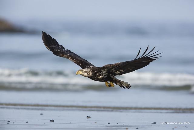 An Eagle at the Beach Series (4/4)
