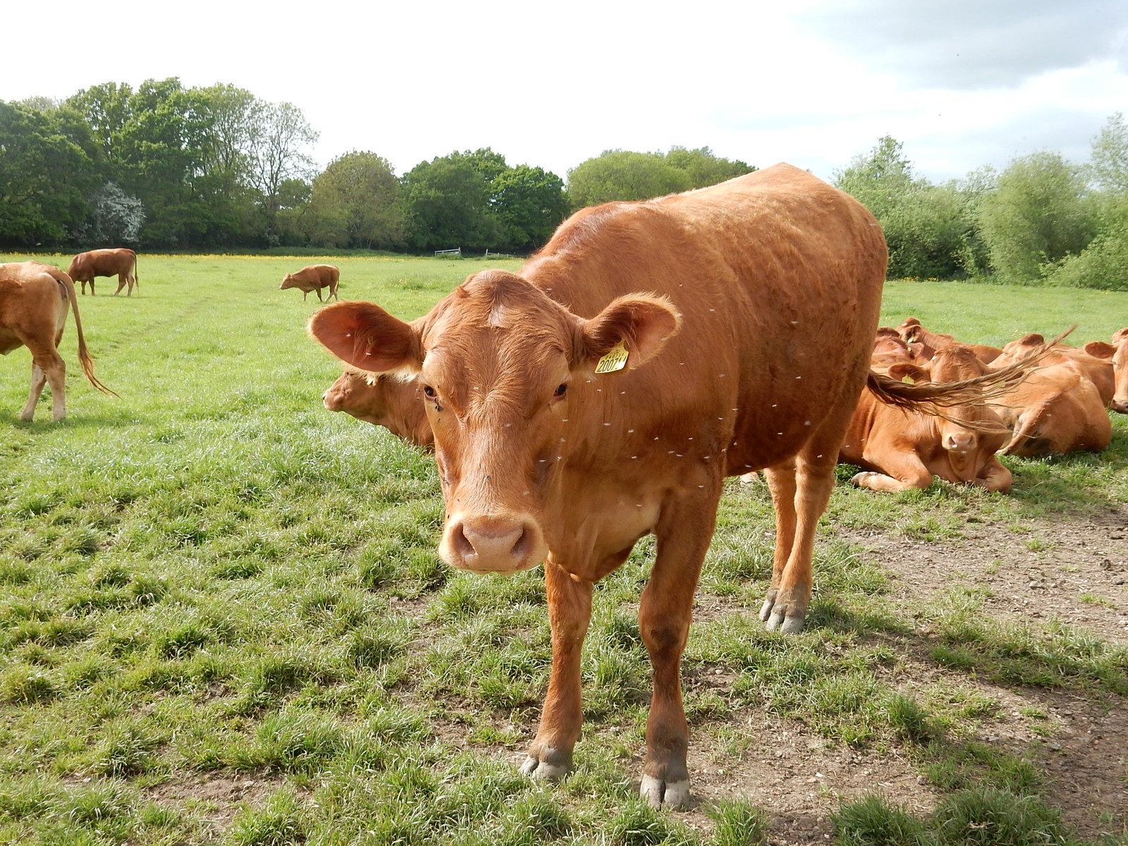 Cow with attendant flies Bures to Sudbury