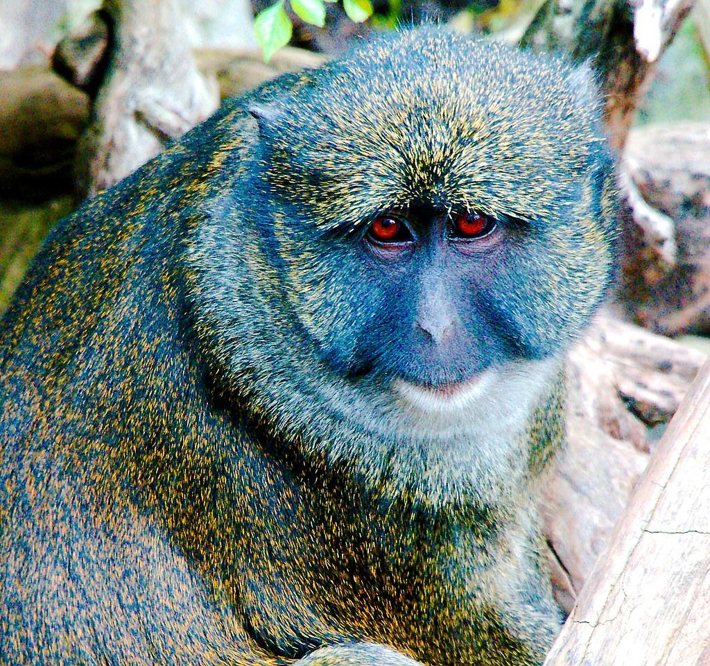 Allen's Swamp Monkey (Allenopithecus nigroviridis)_2