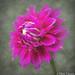 """""""Dahlia 'Elma Elizabeth' """" by Patti Deters"""