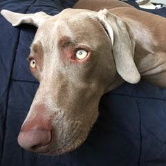 Back from the park and ready to nap #nalaweim #nala #weim #weimette #weimaraner #weimaddict #weimobsessed #weimsofsd #greyghost #worldofweims #dailydoseofweim #instaweim #instafamous #dogsofsandiego #dogsofinstagram #dog #petsofinstagram #spoiled #dogsofs