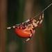 Araneus trifolium (Pumpkin Spider) by Leslie Flint