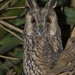 Bufo-pequeno, Long-eared Owl (Asio otus) by xanirish