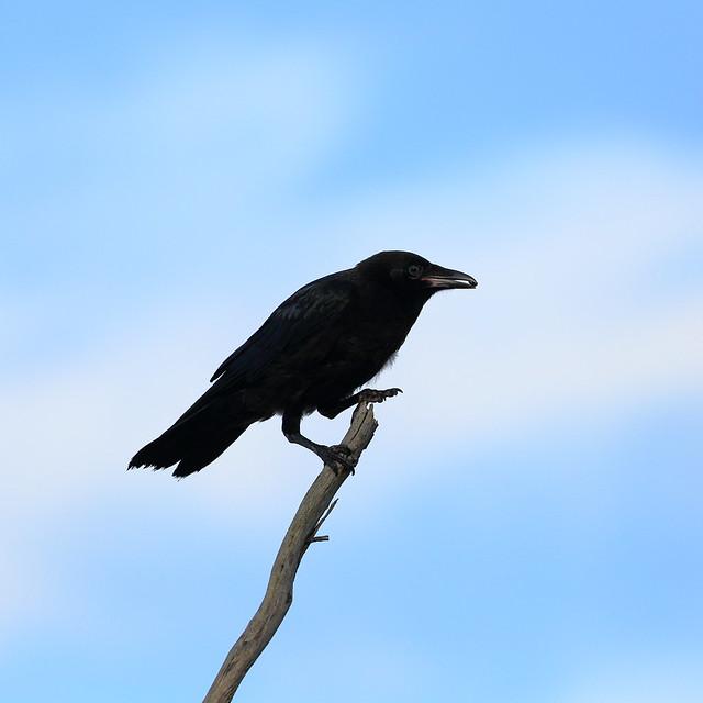 Header of little raven