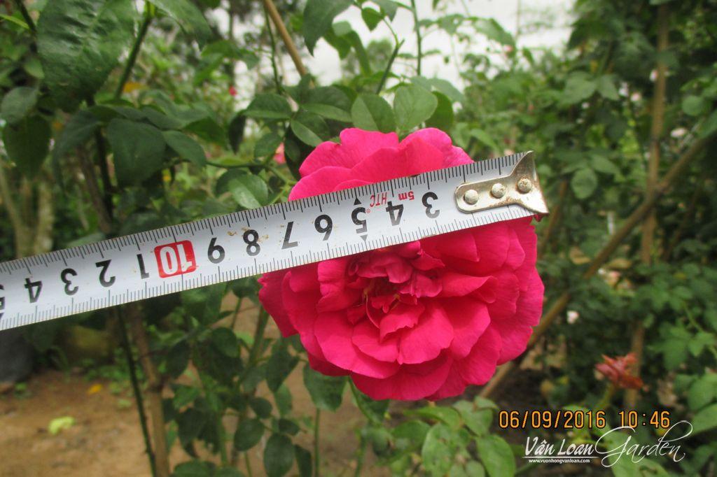 Hoa hồng leo Othello Rose có đường kính trung bình từ 8-12cm