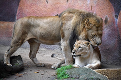 African Lions at the Los Angeles Zoo