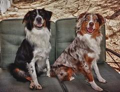 kooikerhondje(0.0), stabyhoun(0.0), nova scotia duck tolling retriever(0.0), brittany(0.0), dog breed(1.0), animal(1.0), dog(1.0), pet(1.0), mammal(1.0), setter(1.0), miniature australian shepherd(1.0), australian shepherd(1.0),