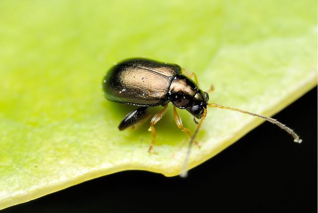 Aphthona strigosa