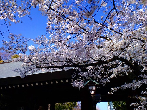Cherry blossoms, Yasukuni Shrine