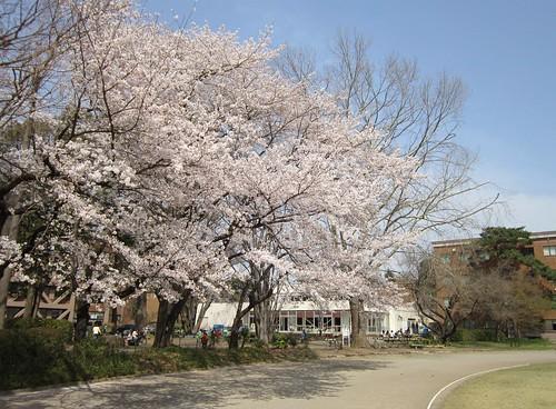 一橋大学構内・グラウンド脇の桜 2012年4月10日 by Poran111