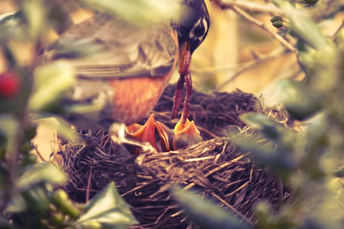baby robin birds are hungry, baby birds, birds, hatching, robin birds, chicks, robin chicks, nest, parent, feeding, beak, hungry, worms, worm, robins nest, tree, nature, fecal sac, poop sac, neck, bald, feathers, wing