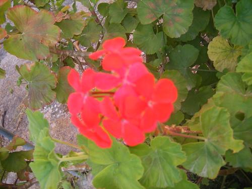 Particolare di un fiore di geranio rosso zonale (Pelargonium zonale)