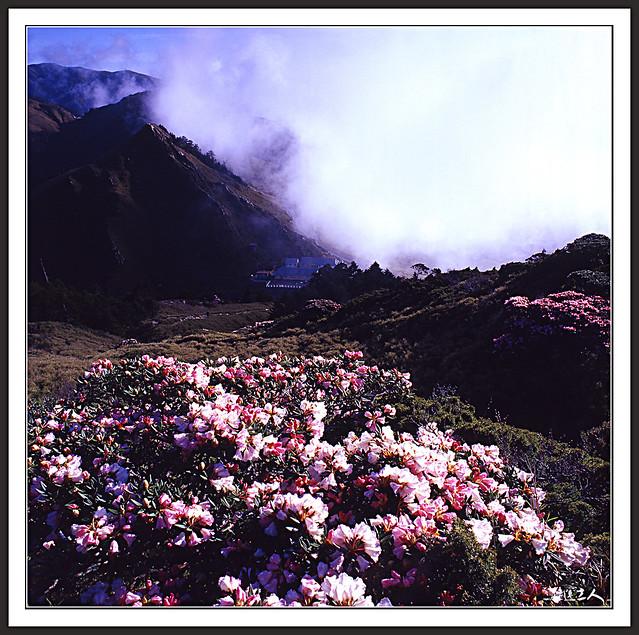 ++2012年,合歡東峰杜鵑花正盛開++