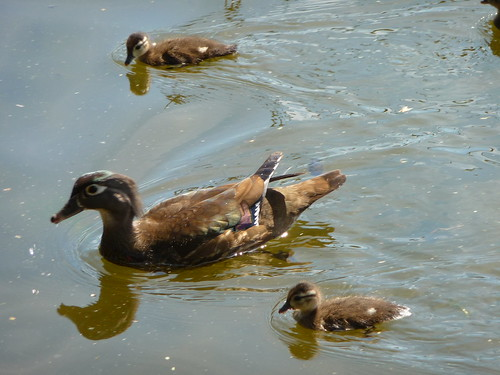 Wood Duck Mother and Babies