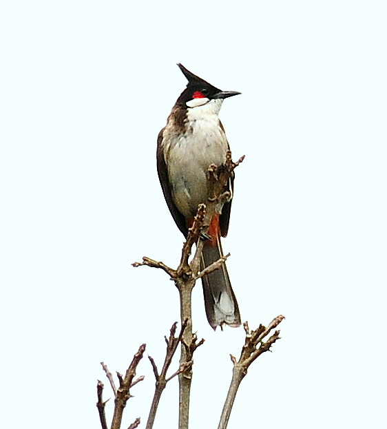 Red-wiskered bulbul or Merbah Jambul | Flickr - Photo Sharing!