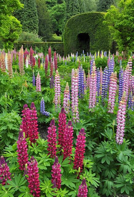 Lupin garden at Chatsworth