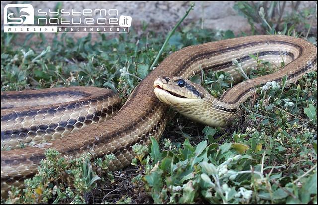 Cervone elaphe quatuorlineata four lined snake for Serpente cervone