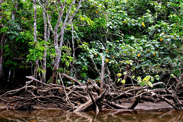 iriomote mangrove 西表島マングローブの森