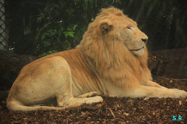 weisser Löwe viel dunkler als die Löwin