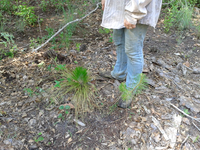 Little longleaf