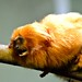 Toronto Zoo - May 20/13 - Golden Lion Tamarin