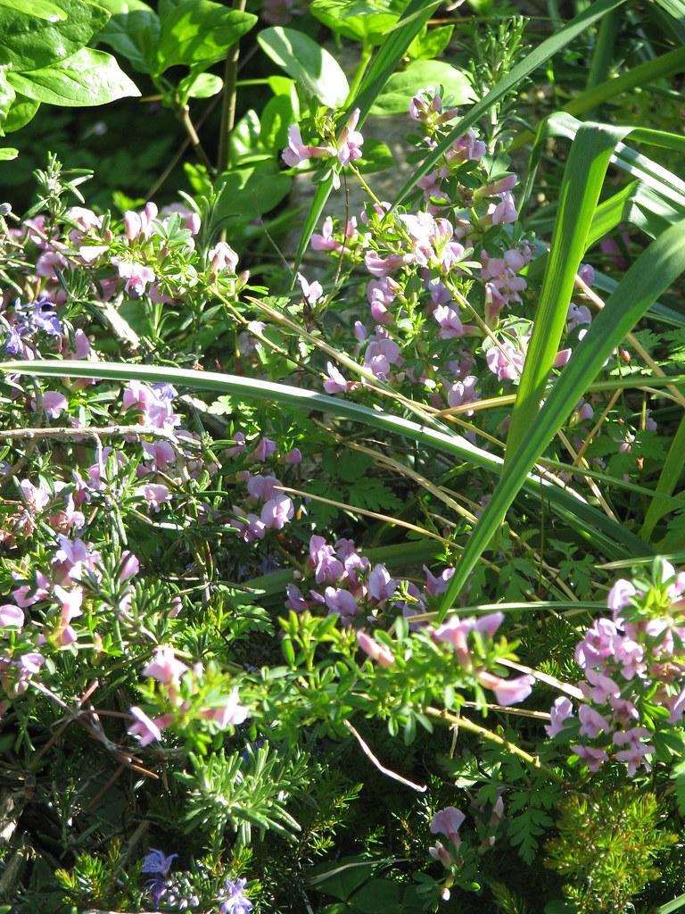 Chamaecytisus purpureus Lilac Lady