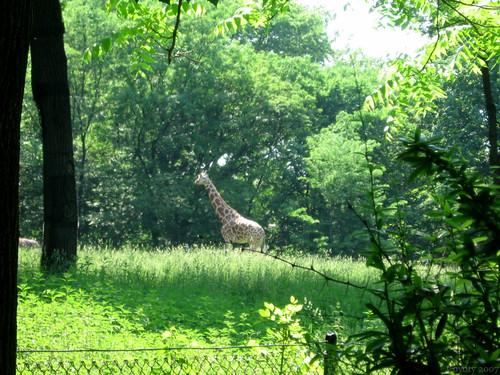 Giraffe by Coyoty