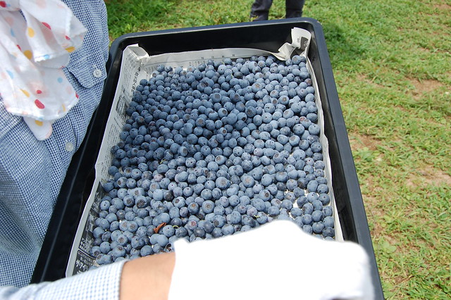 2012年ブルーベリーの収穫風景