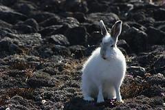 Meagan Grabowski - White hare