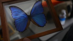 Blue-Morpho-butterfly