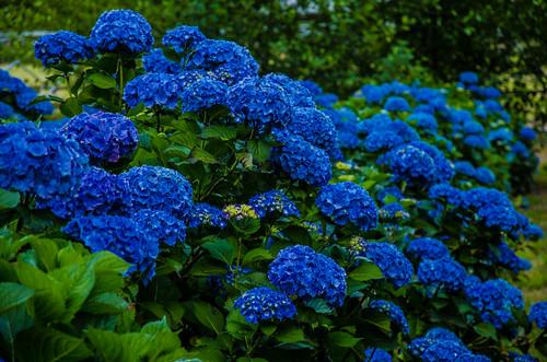 dark blue hydrangeas.