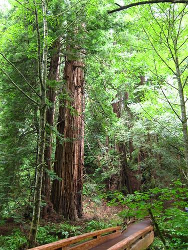 Muir Woods, green, horsetails, Coastal Redwoods IMG_5016