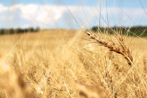 More wheat!