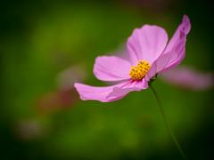 blossom(0.0), flower(1.0), garden cosmos(1.0), yellow(1.0), sunlight(1.0), plant(1.0), nature(1.0), macro photography(1.0), wildflower(1.0), flora(1.0), green(1.0), close-up(1.0), plant stem(1.0), cosmos(1.0), pink(1.0), petal(1.0),