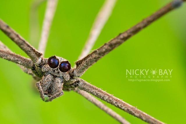 Coulée du filet d'araignée (Deinopis sp.) - DSC_2180